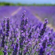 Lavender-Toner