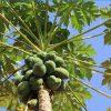 radiance-serum-papaya-tree.jpg